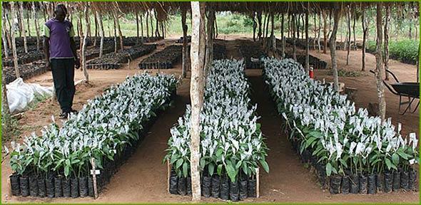 Grafting of mango trees in Nyongoro