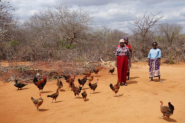 Using microfinance loan to buy chickens and multiply them
