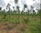 Mukau plantation in windy environment. Shelter from the wind may be needed.