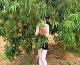 Our Swedish friend, Maria Gustavsson, hiding behind Mango fruits