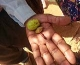 Mukau nut, capsule and seed