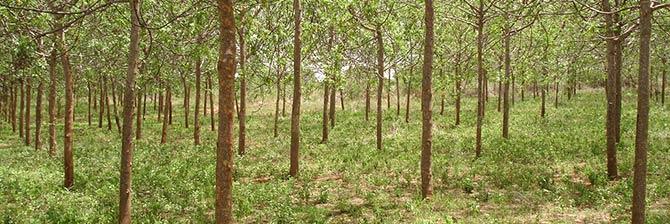 Planting Better Globe trees and establishing tree plantations