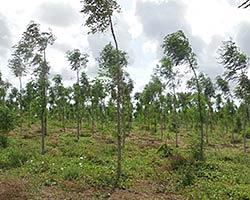 Better Globe Mukau plantation