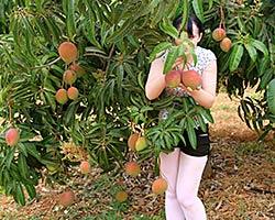 Better Globe Mango fruits