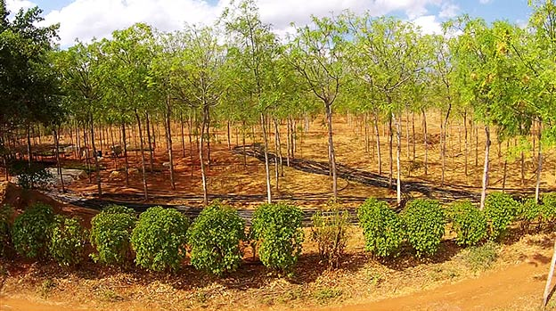 Better Globe Forestry's plantation, Kiambere Site